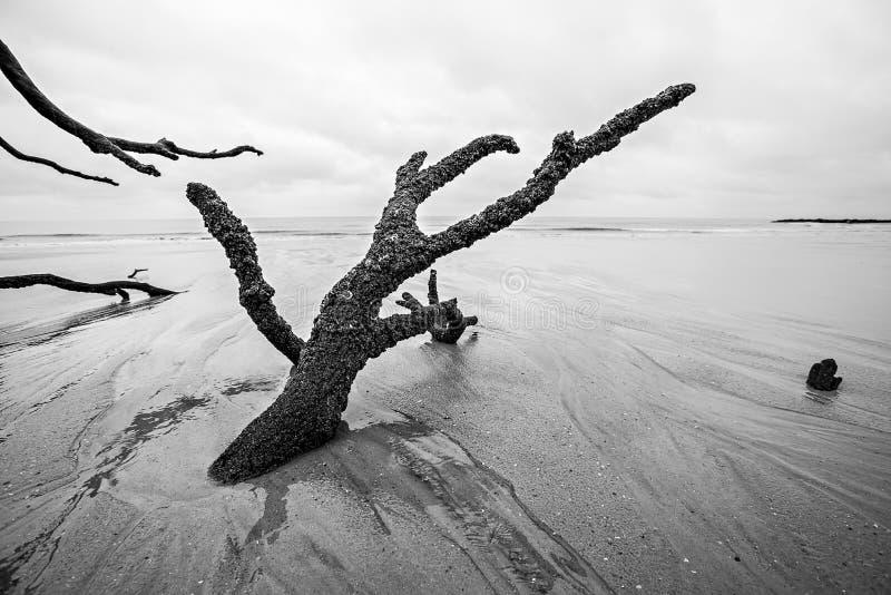 Legname galleggiante ed alberi scoloriti alla spiaggia sulla st dell'isola di caccia fotografie stock libere da diritti