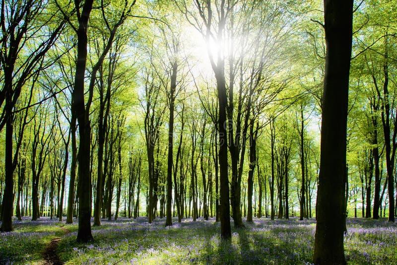 Legno con i bluebells e l'indicatore luminoso di mattina fotografia stock