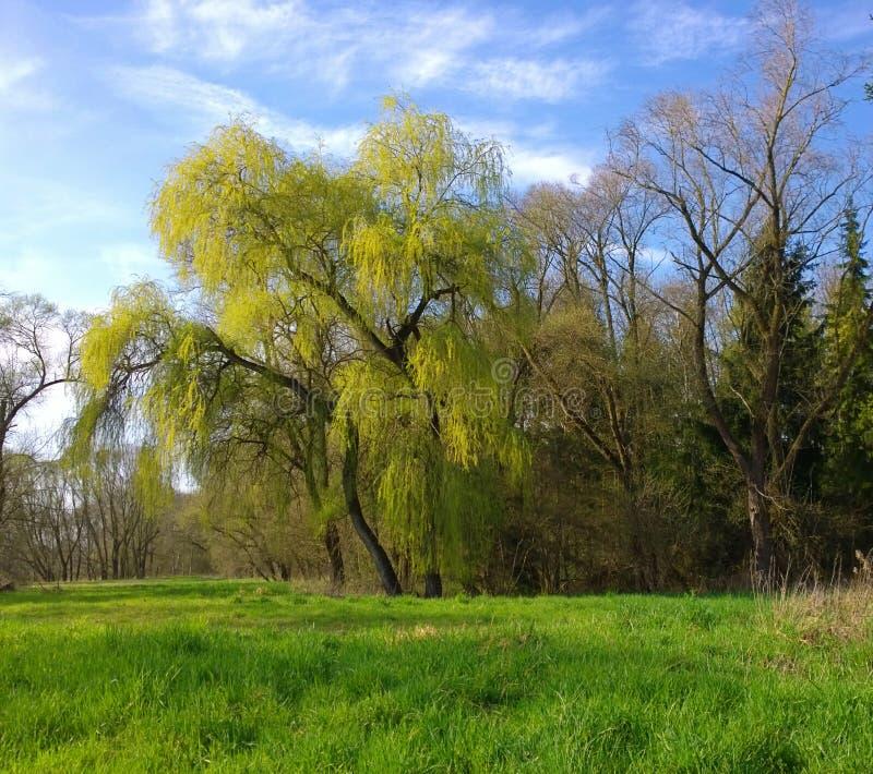 Legno con l'albero di salice imponente e un campo con erba verde fotografie stock libere da diritti