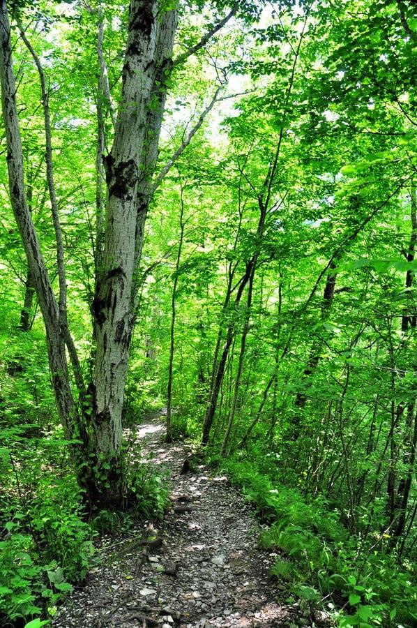 Download Legno Conifero Dell'Ucraina Del Percorso Di Foresta Dell'Europa Orientale Immagine Stock - Immagine di esplori, luminoso: 56884743