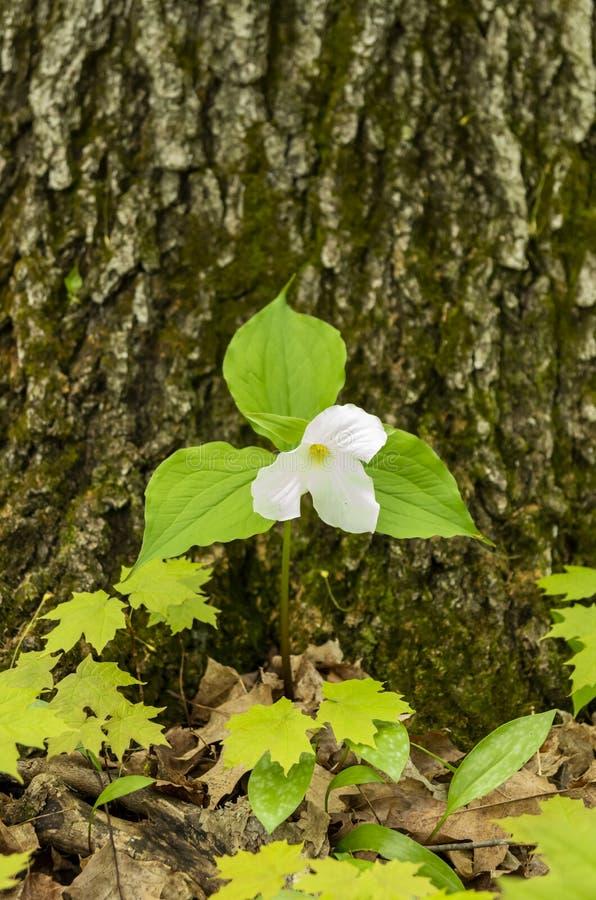 Legno 12 del Trillium fotografia stock