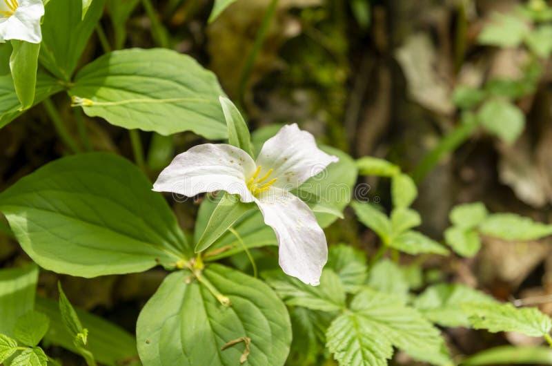Legno 14 del Trillium fotografie stock libere da diritti