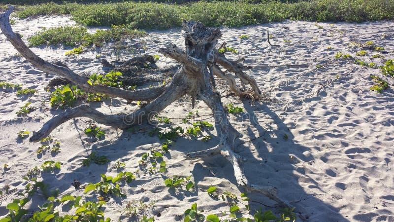 Legno della deriva alla spiaggia immagini stock libere da diritti