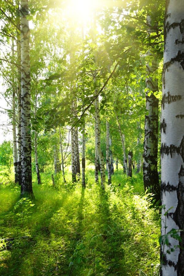 Legno di betulla di estate con il sole fotografia stock