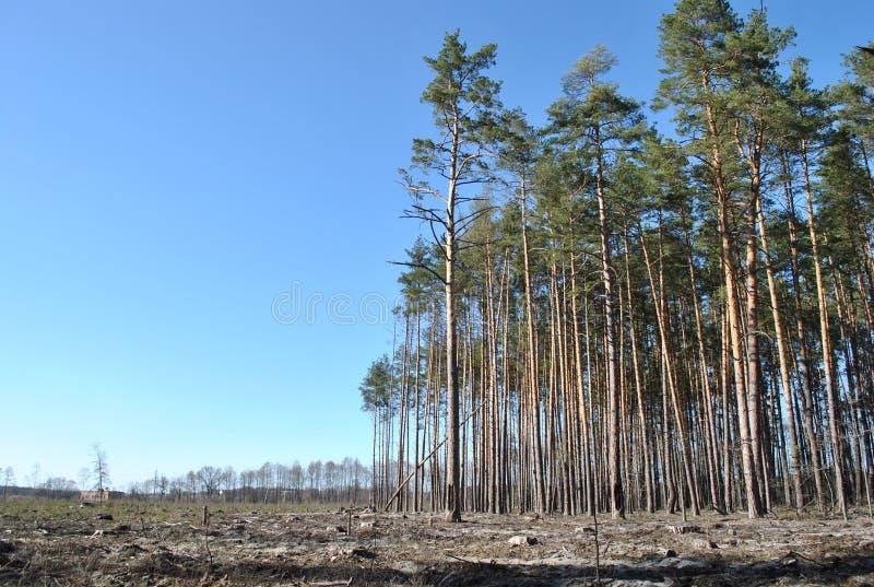 Legno di pino sanitario di devastazione di disboscamento immagini stock