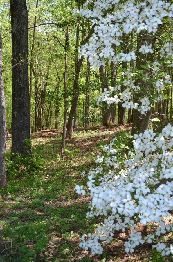 Legno di primavera fotografie stock libere da diritti