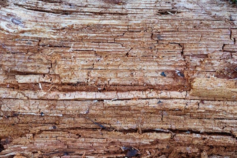 Legno marcio Struttura di legno Foresta, natura fotografie stock