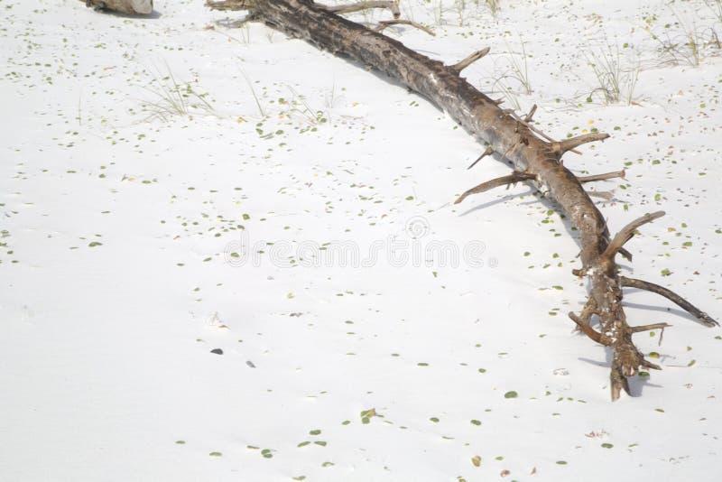 Legno morto sulla spiaggia sabbiosa fotografia stock
