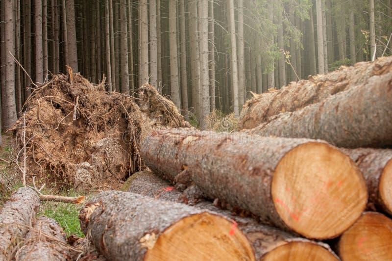 Legno tagliato fresco nella foresta - Germania immagine stock libera da diritti