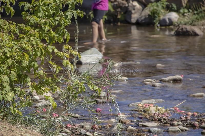Legs of little girl wading in a rocky creek out of focus with greenery on bank in full focus and reflection of her pink shirt with stock images