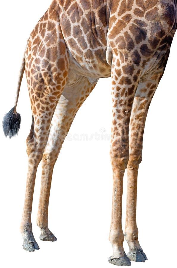 The legs of a rothschild giraffe. On white background stock image