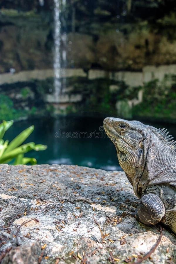 Leguaan bij de Waterval van Cenote Zaci - Valladolid, Yucatan, Mexico royalty-vrije stock foto