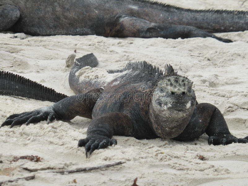 Leguaan in de Galapagos royalty-vrije stock foto