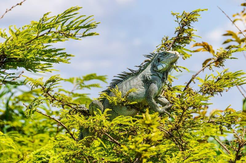 Leguaan die in het Regenwoud van Amazonië, Brazilië zonnebaden royalty-vrije stock afbeelding