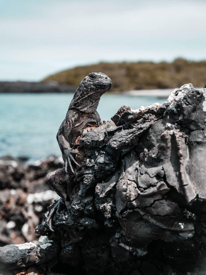 Leguaan op rots stock afbeeldingen