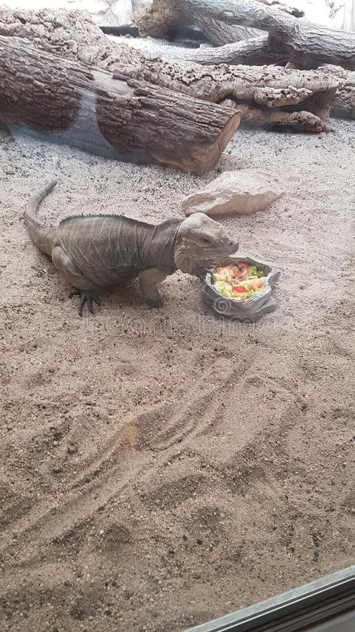 Leguan есть плодоовощи стоковое изображение rf