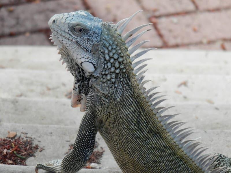 Leguan fotografering för bildbyråer