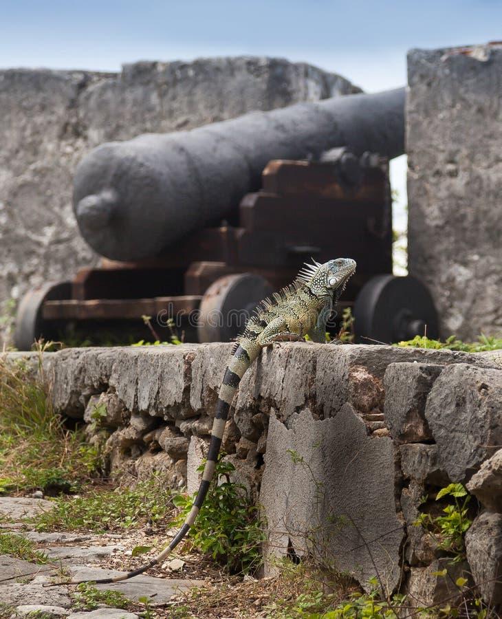 Leguan lizenzfreie stockfotografie