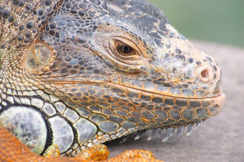 Download Leguan fotografering för bildbyråer. Bild av dinosaur, ödla - 518657