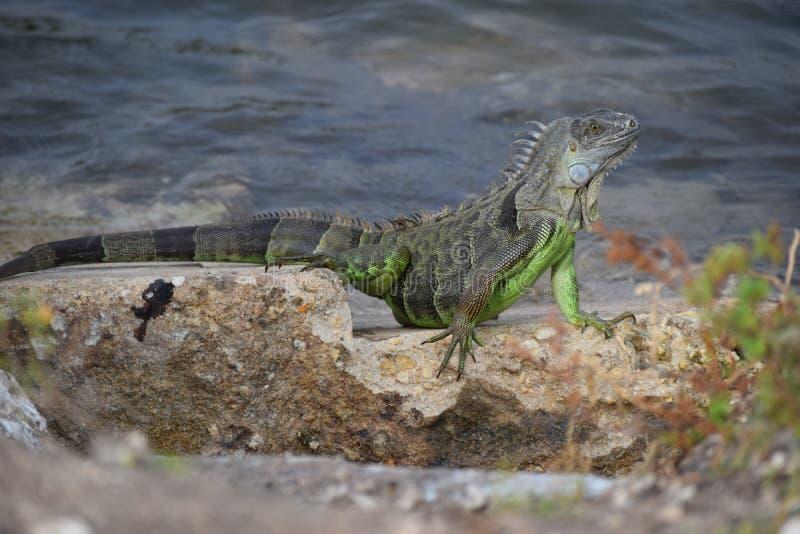 Leguan auf den Felsen stockfotografie