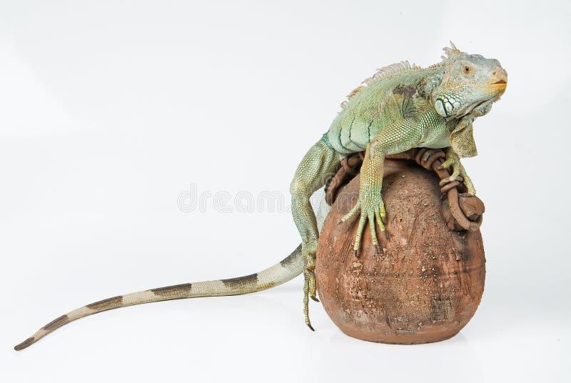 Leguan stockfoto