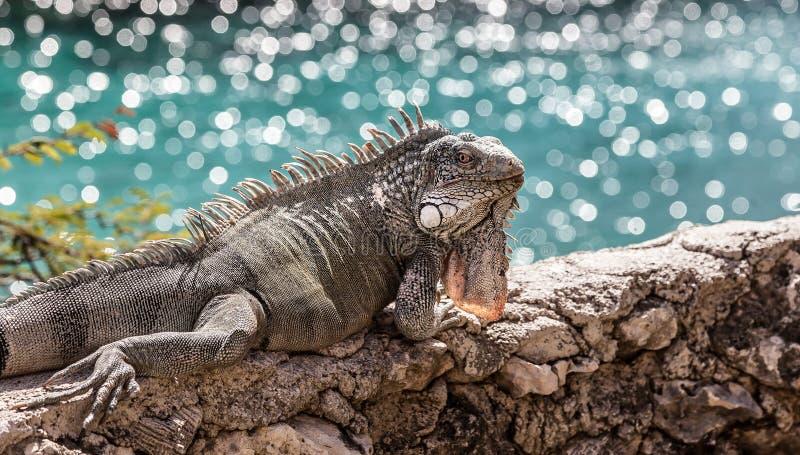 Leguan auf einer Wand mit dem Meer lizenzfreie stockfotografie