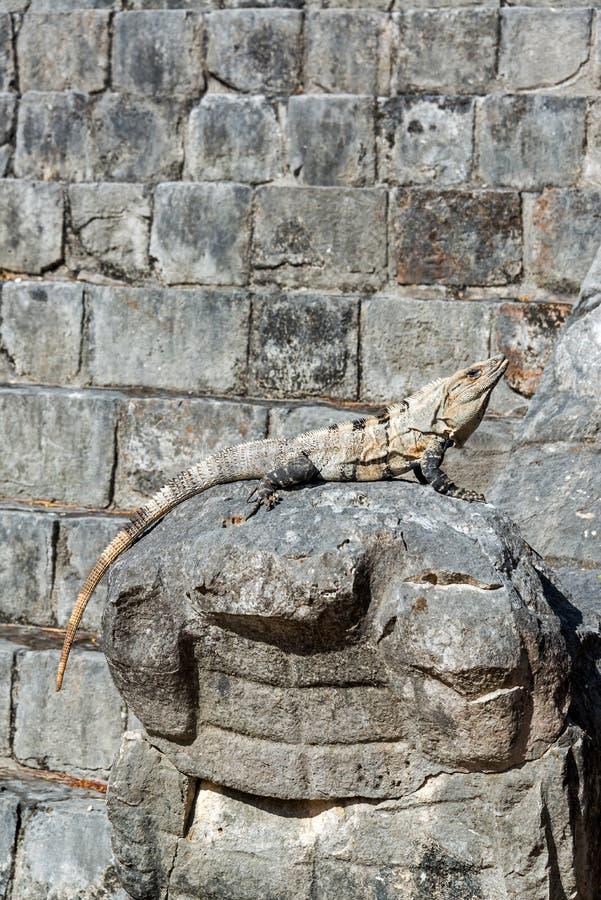Leguan auf Ruinen Chichen Itza lizenzfreies stockfoto