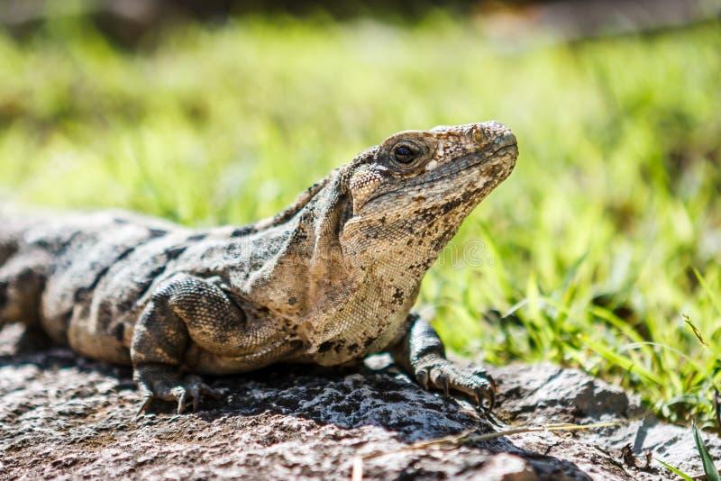 Leguan bei Chichen Itza, Yucatan, Mexiko lizenzfreie stockfotos