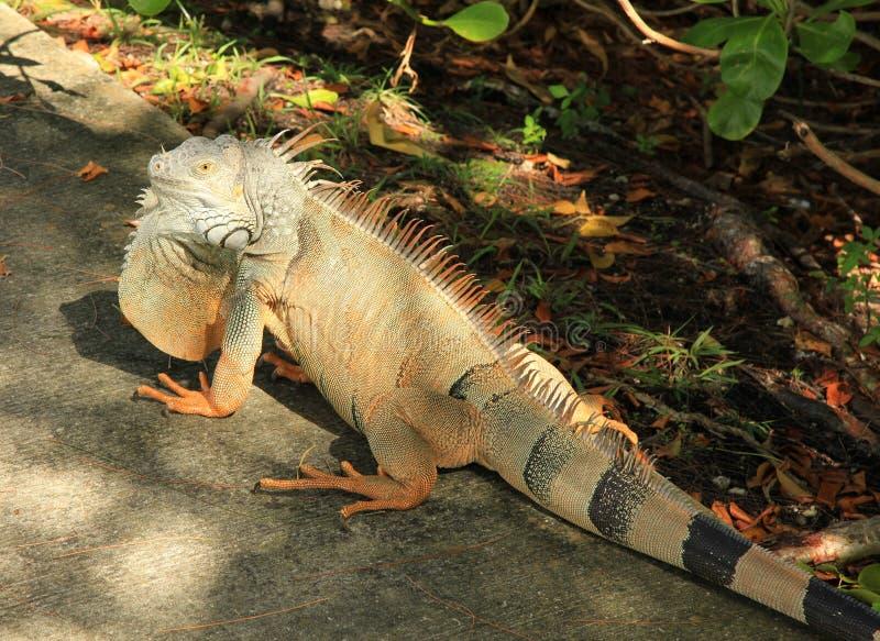 Leguan in Cancun Mexiko stockbild