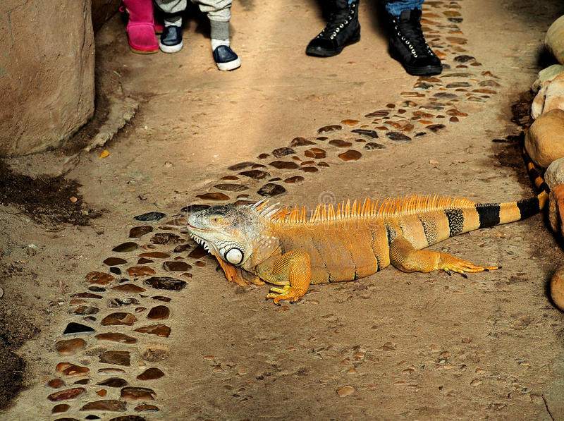 Leguan in captivity. A beautiful orange leguan in captivity with onlookers royalty free stock photography