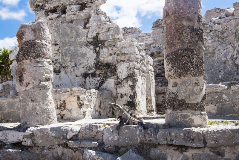 Leguan in den Ruinen in Tulum, Mexiko stockfoto