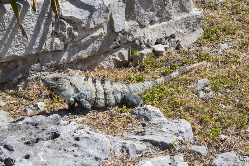 Leguan in den Ruinen in Tulum, Mexiko stockbilder