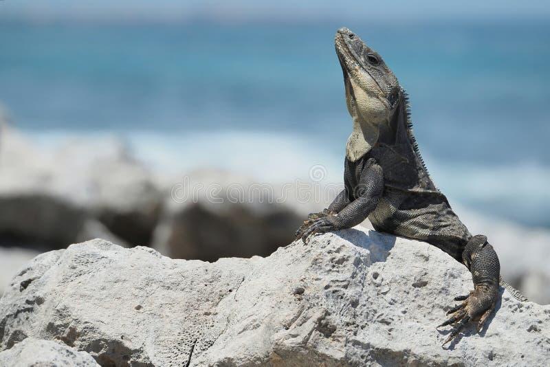 Leguan durch das Meer lizenzfreie stockfotos