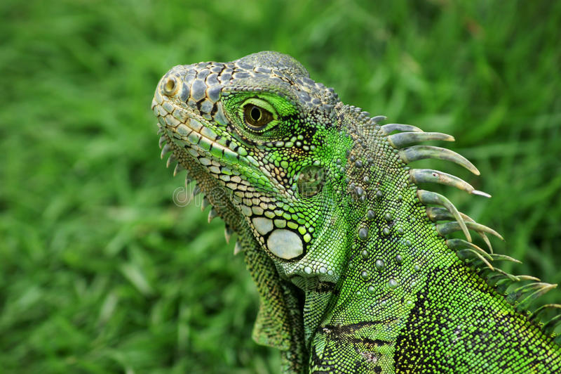 Leguan in Ecuador stockfotografie