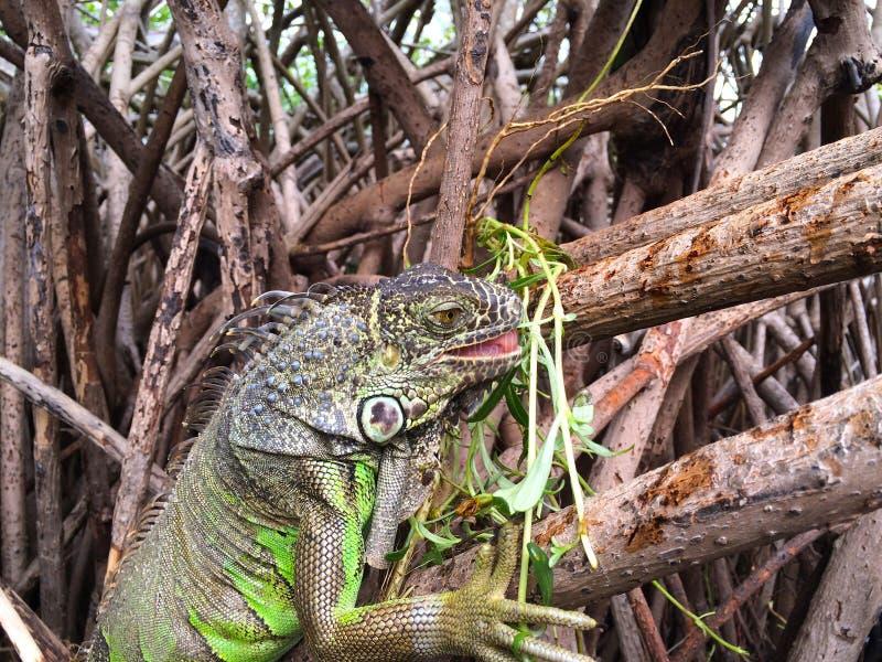 Download Leguan i mangroven fotografering för bildbyråer. Bild av exotiskt - 106835789