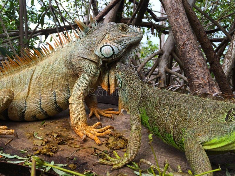 Download Leguan i mangroven fotografering för bildbyråer. Bild av turism - 106835825