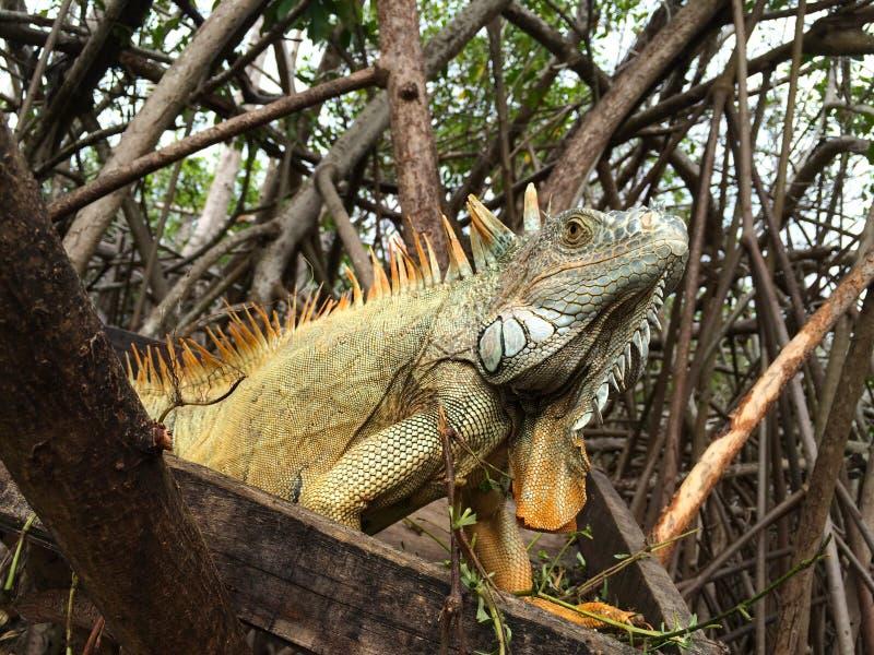 Download Leguan i mangroven arkivfoto. Bild av äta, swamp, reptil - 106835878
