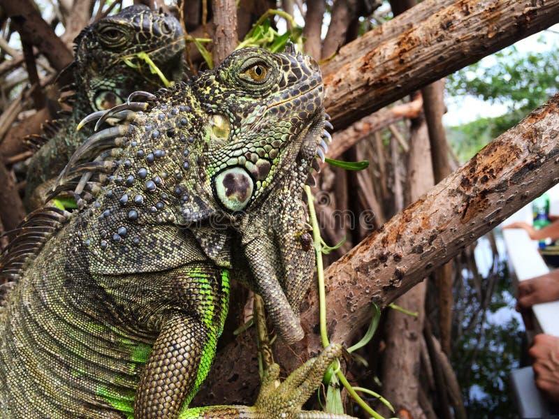 Download Leguan i mangroven arkivfoto. Bild av wild, exotiskt - 106835898