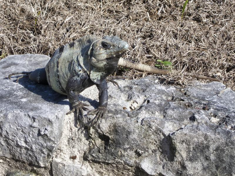Leguan i Tulum - Mexico royaltyfri foto