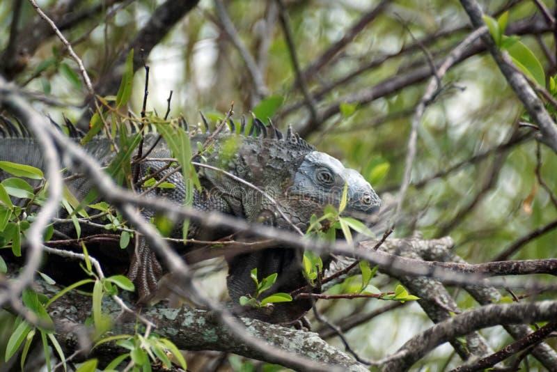 Leguan im Everglades-Nationalpark lizenzfreie stockbilder