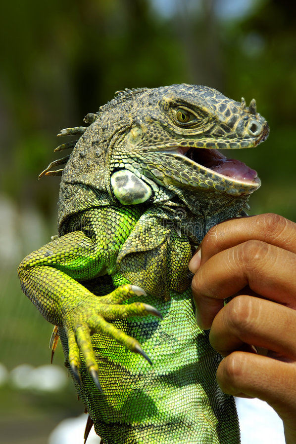 Leguan-Lächeln stockfoto