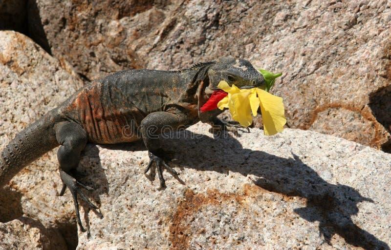 Leguan mit einer Blume stockfoto