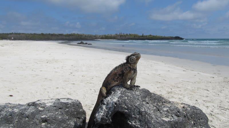 Leguan på en strand royaltyfri foto