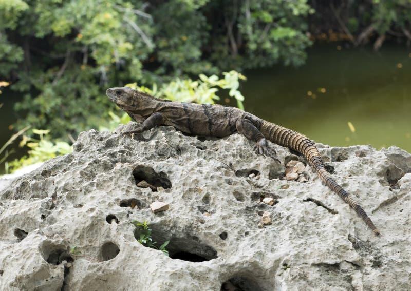 Leguan på en vagga med sakral cenote i bakgrund arkivfoton