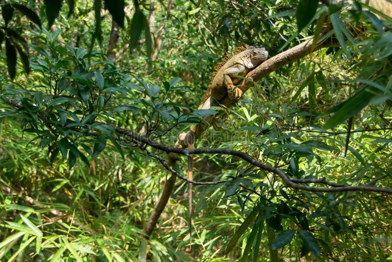 Leguan på ett träd arkivfoton