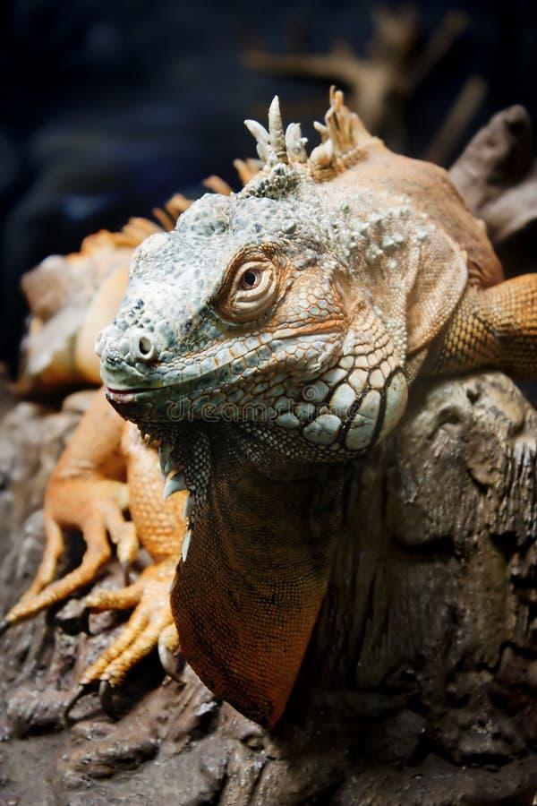 Leguan på filial arkivbild