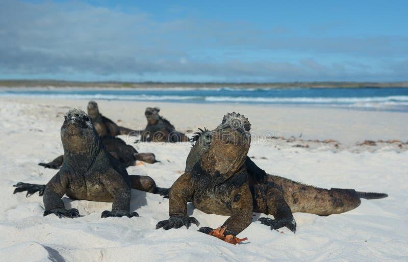 Leguan på Galapagos öar arkivbild