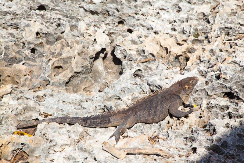 Leguan på stenar på ön i Kuba arkivfoton