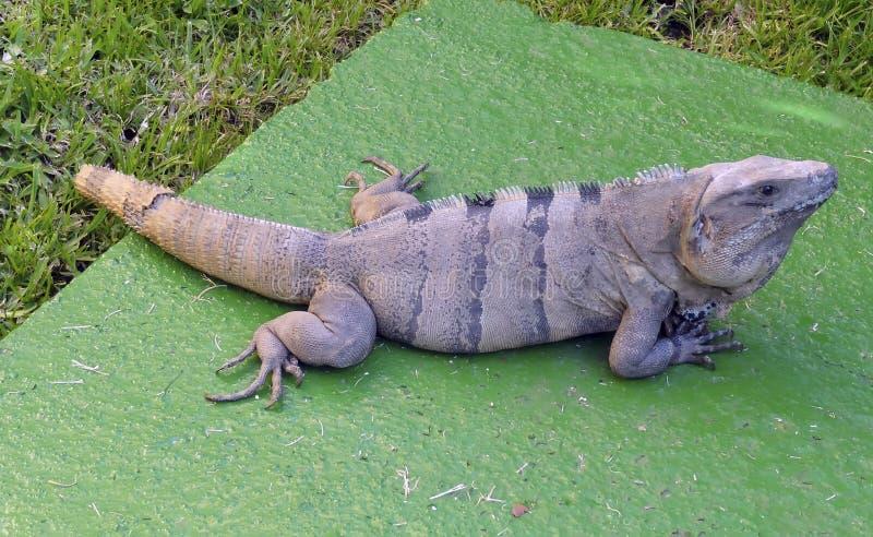 Leguan som ligger på en vagga royaltyfria bilder