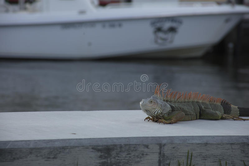 Leguan som vilar på skyddsmur mot havet royaltyfria bilder